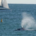 Southern Right Whales off the coast of Hillarys Boat Harbour