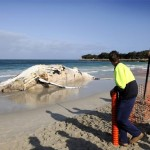 Dead whale washed up on Sorrento Beach