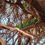 Wild Budgies and Zebra Finches – Australias local pet shop