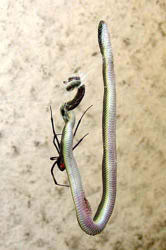 Australian Redback Spider eating Snake