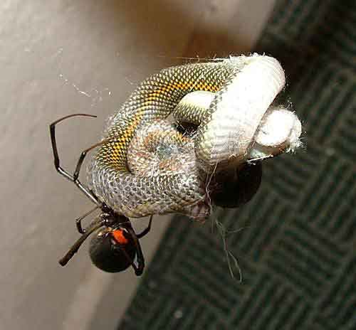 Australian Redback Spider Catches Snake