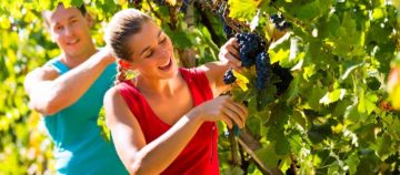 Fruit Picking Salaries Working Holiday Visa Australia